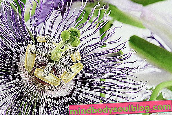 Passiflora incarnata: за какво е предназначен, как да го приемате и странични ефекти