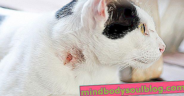 7 Maladies pouvant être transmises par les chats