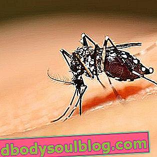 Comment identifier le moustique Dengue (Aedes aegypti)