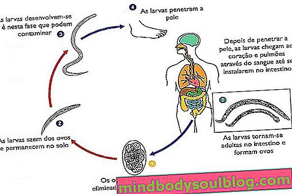 מה זה תולעת קרס, תסמינים, מחזור חיים וטיפול