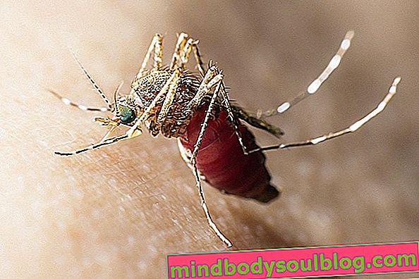 Le paludisme: qu'est-ce que c'est, cycle, transmission et traitement