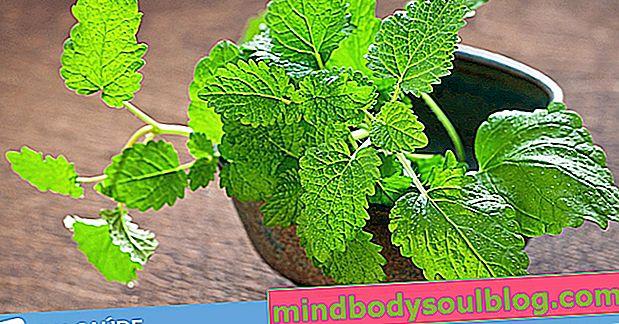 La mélisse: 8 bienfaits pour la santé et comment faire du thé