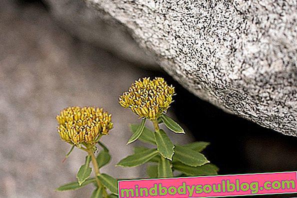 Rhodiola rosea: à quoi ça sert et comment la prendre