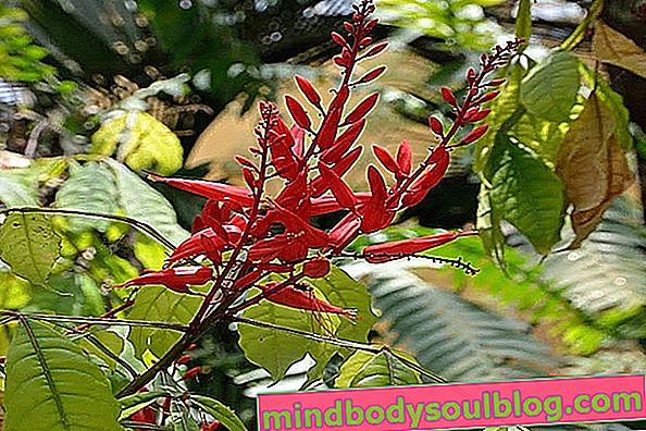 היתרונות הבריאותיים של צמח Pau Tenente